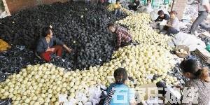 石家庄雪花梨较去年产量翻番价格减半 梨农很受伤